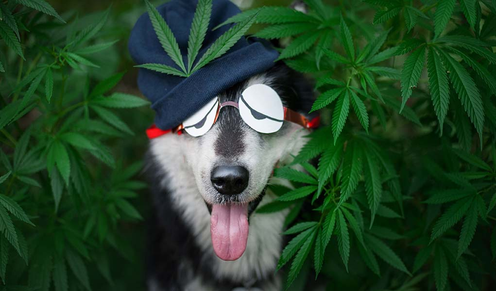 Health-Benefits-and-Uses-of-CBD-for-Dogs.jpg